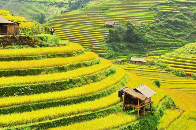 Rice fields in the North of Vietnam - Harvest time