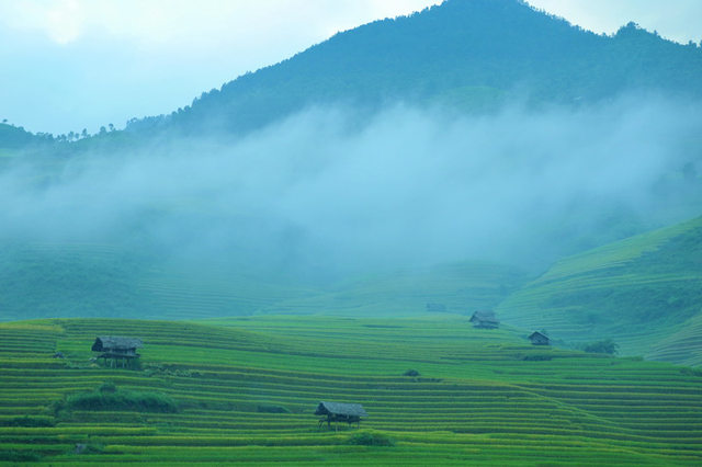 Rice fields in the North of Vietnam - Middle of the crop