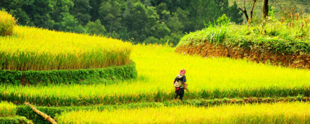 Rice Field at Sapa