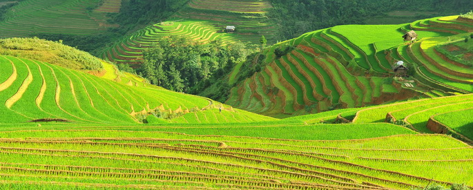 vietnam terraced rice fields
