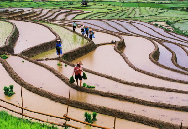 Mu Cang Chai terrace rice field
