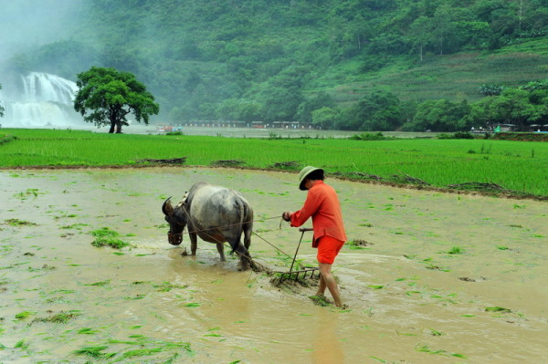 Local women working on her field next to Ban Gioc Waterfall