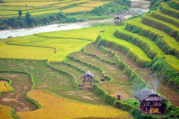 The Harvest Time in Mu Cang Chai Terraced Rice Fields