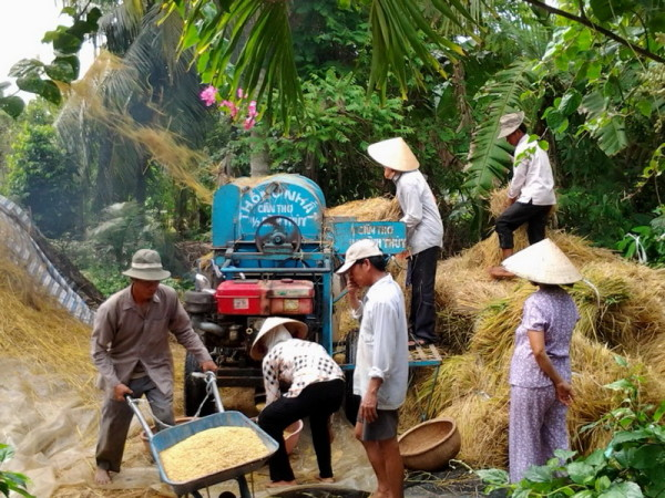 Local farmer enjoy their havest time in Ben Tre
