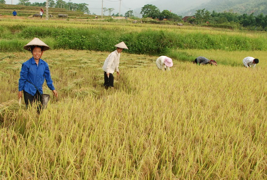 Muong Thanh Rice Field