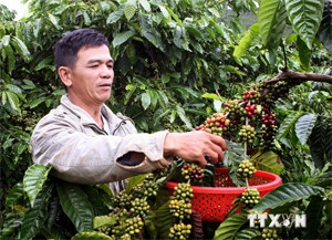 buon ma thuot coffee