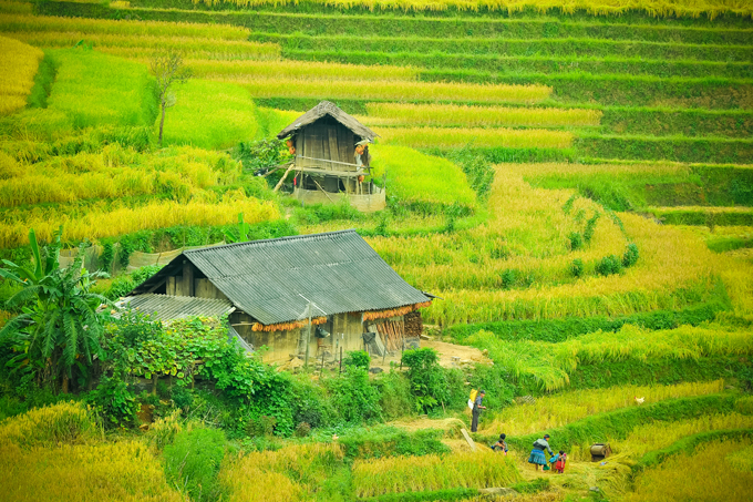 Lim Mong Valley in September - The harvest time of rice crop