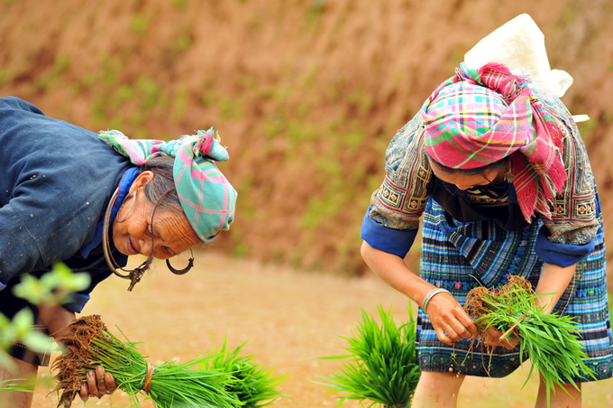 Hmong ladies working in the rice fields in June at the beginning of the crop.