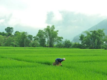 Rice fields in Mai Chau valley