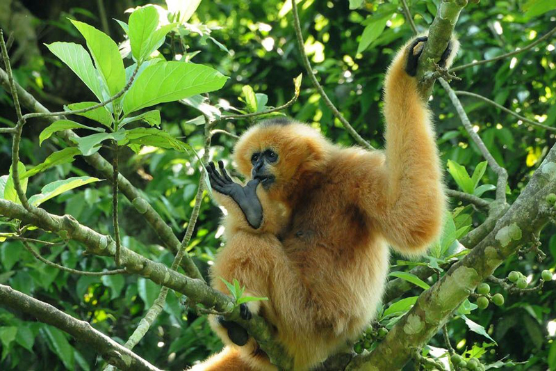 Primate species are protected at Cuc Phuong National Park