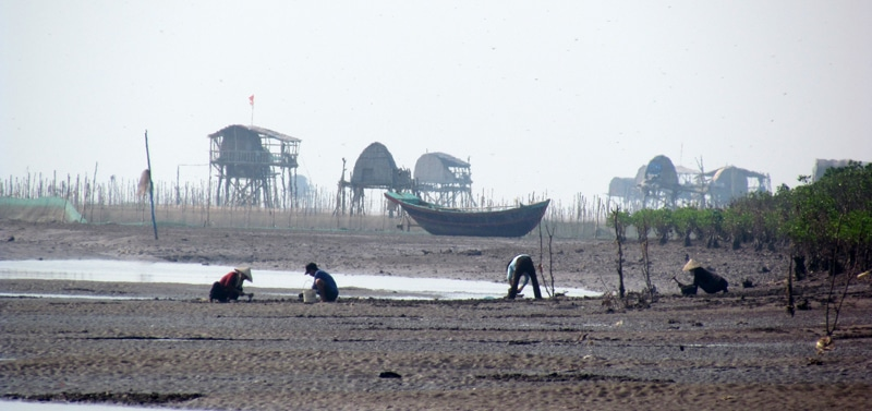Clam farming at Xuan Thuy National Park